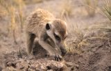 20 Young Meerkat foraging by Lisa Bukalders