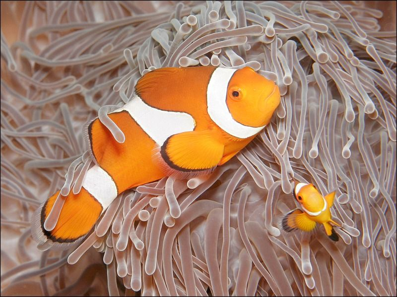 21 Anemone Fish and Juvenile by Spike Piddock