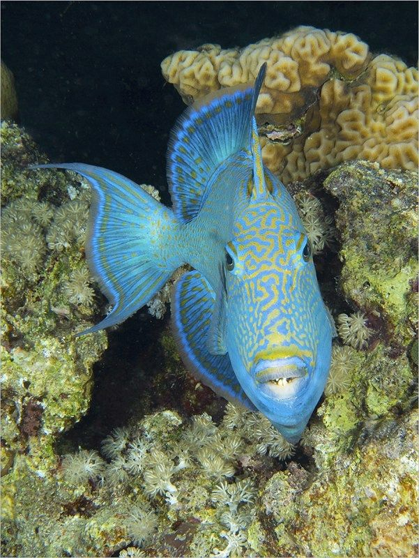 21 Blue Trigger Fish by Spike Piddock