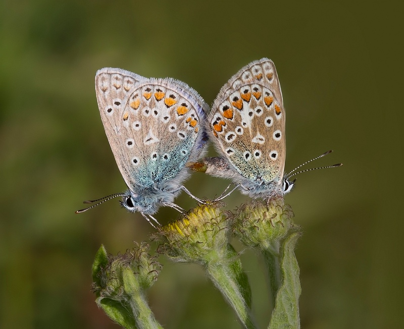 21 Common Blue Butterflies mating by Stephen Lee