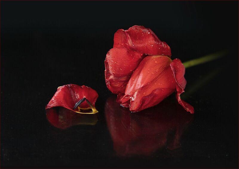 22 Red Tulip by Glynn Grylls