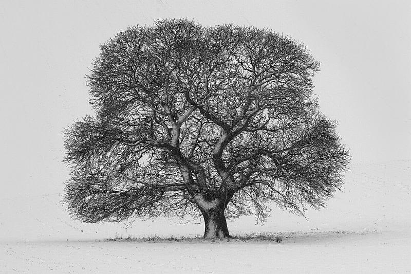 22 Snow Tree by Sid Jones