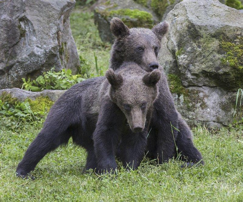 27 Carpathian Brown Bear Cubs Playing by Susan Buckland