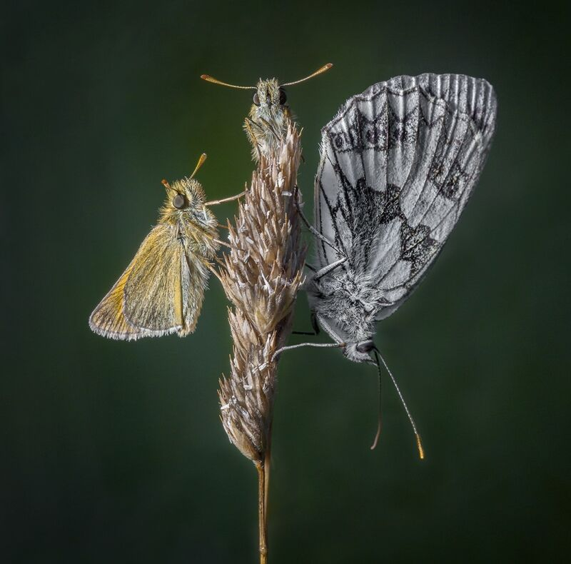 2 Skippers and a Marble White by Martin Davenport Highly Commended Section A