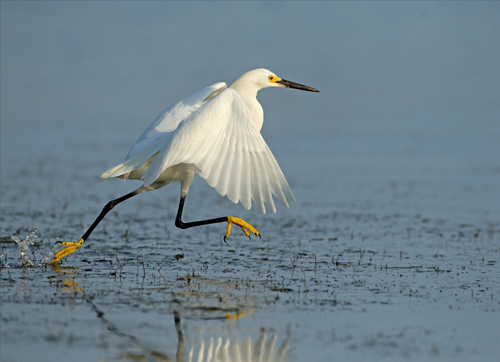 Egret Running on Water by David Cantrille