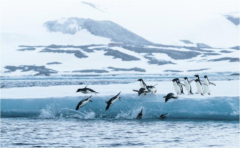 Adelie Penguins by Paul Barrow