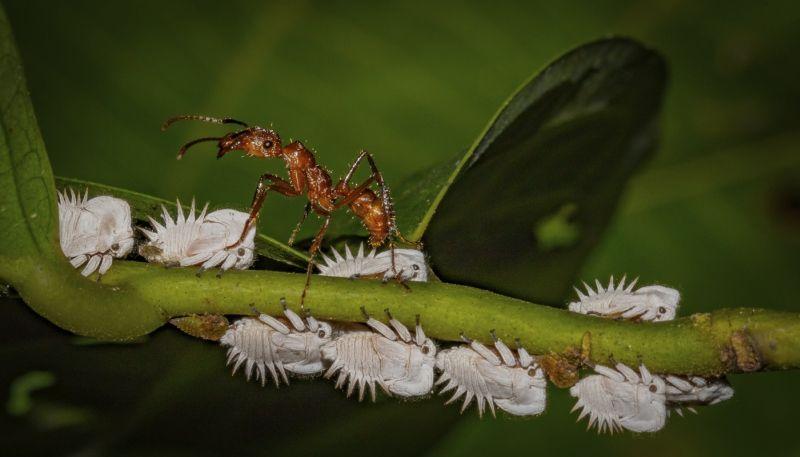 Andean Wood Ant Farming Honeydew by Frank Schweitzer