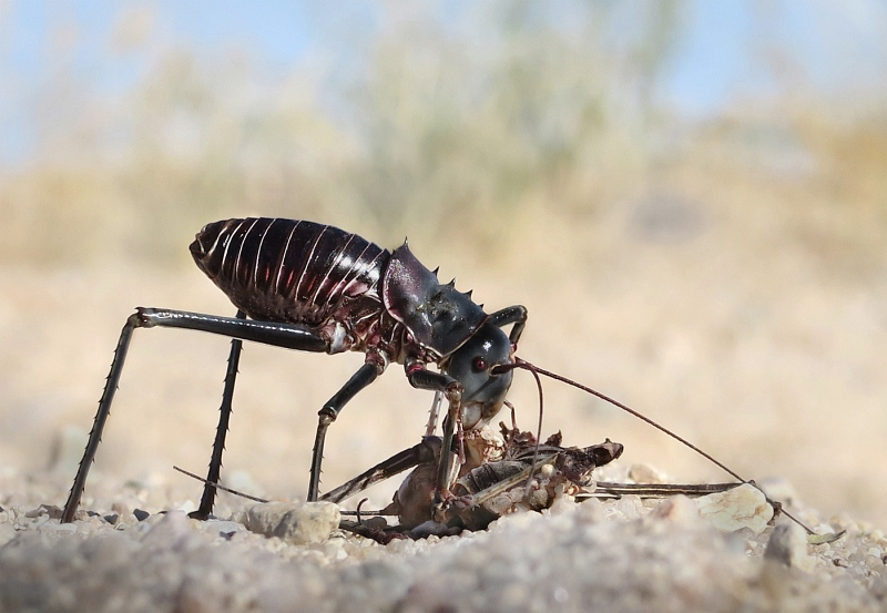 Armoured ground cricket with cricket prey by Lisa Bukalders