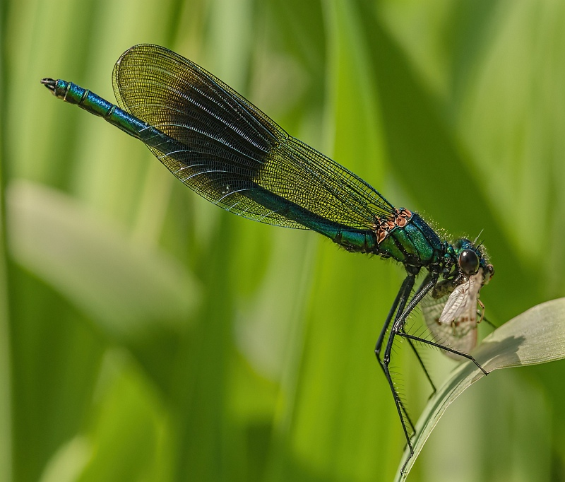 Banded Demoiselle with Prey by Malcolm Kitto