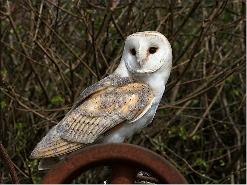 Barn Owl by Phil Whiffing Highly Commended Section B
