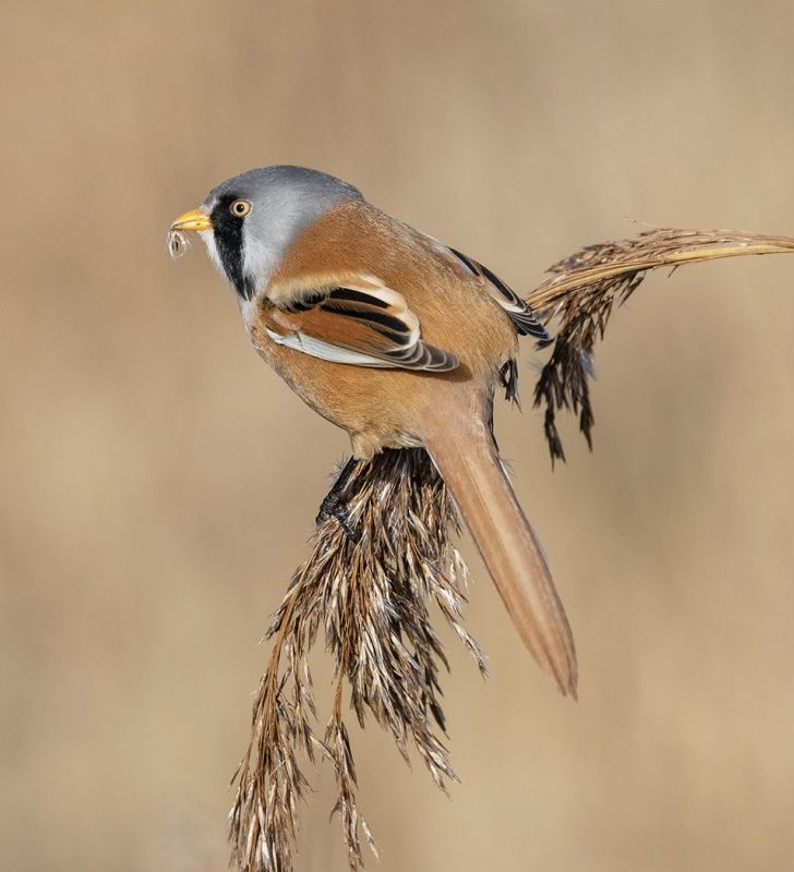 Bearded Tit Male by Susan Buckland Highly Commended Section A