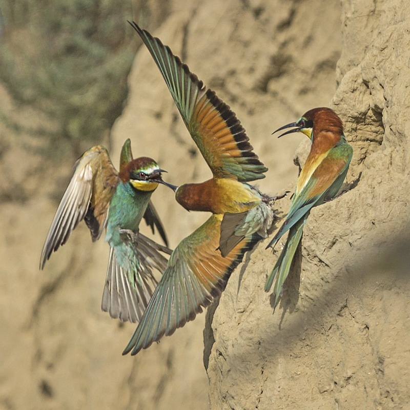 Bee-eater Territory Dispute by Susan Buckland