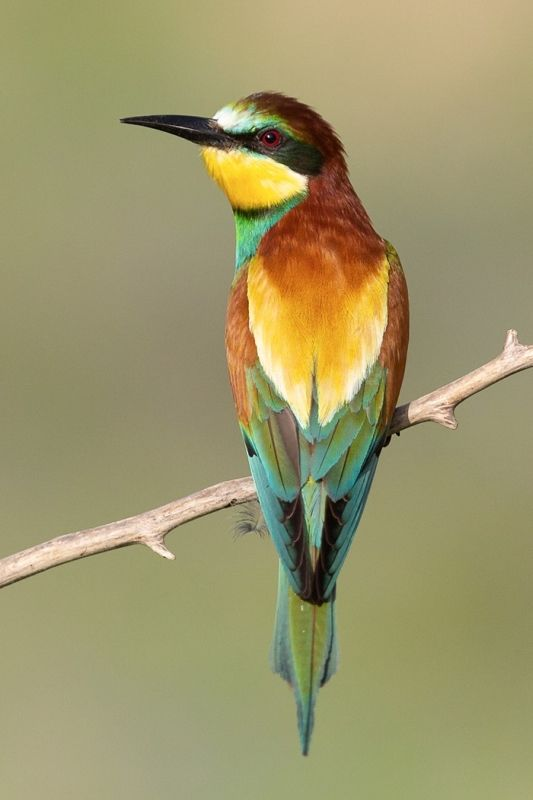 Bee-eater by Susan Buckland