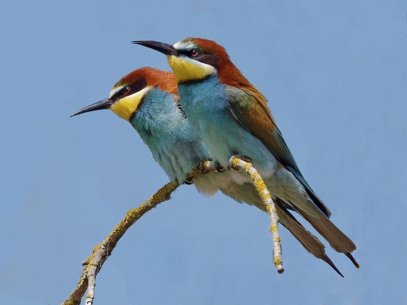Bee Eater (Merops apiaster) by Iain Cameron