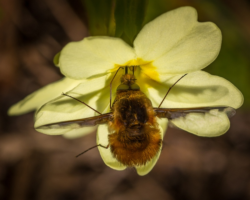 Bee Fly probing Primrose by Jeremy Lee-Potter