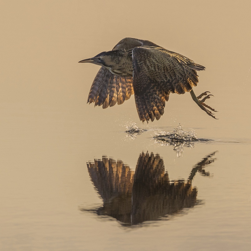 Bittern at Sunrise by Tim Downton