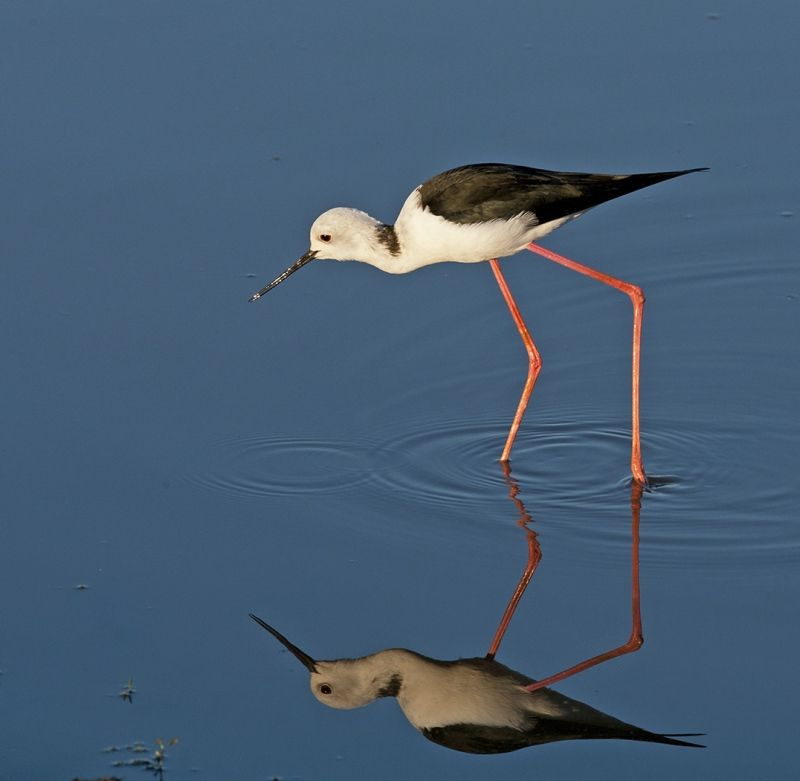 Black-winged stilt by Mary Cantrille Highly Commended Section A