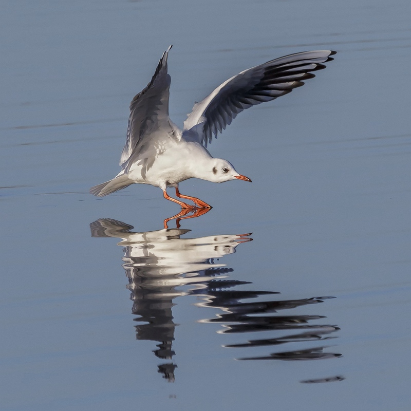 Black Headed Gull Landing by Martin Davenport