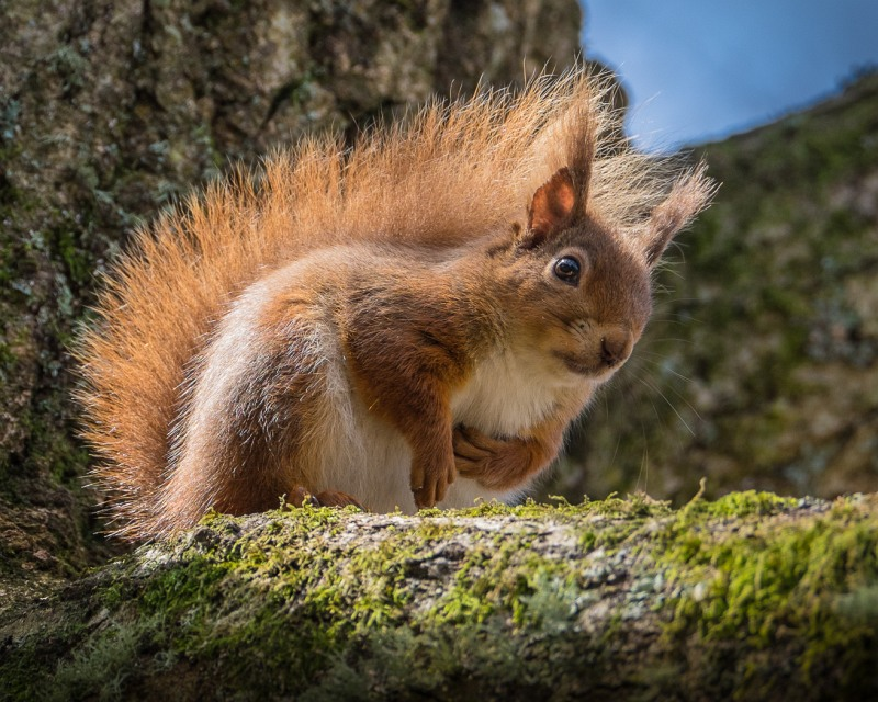 Brownsea Squirrel by Jeremy Lee-Potter