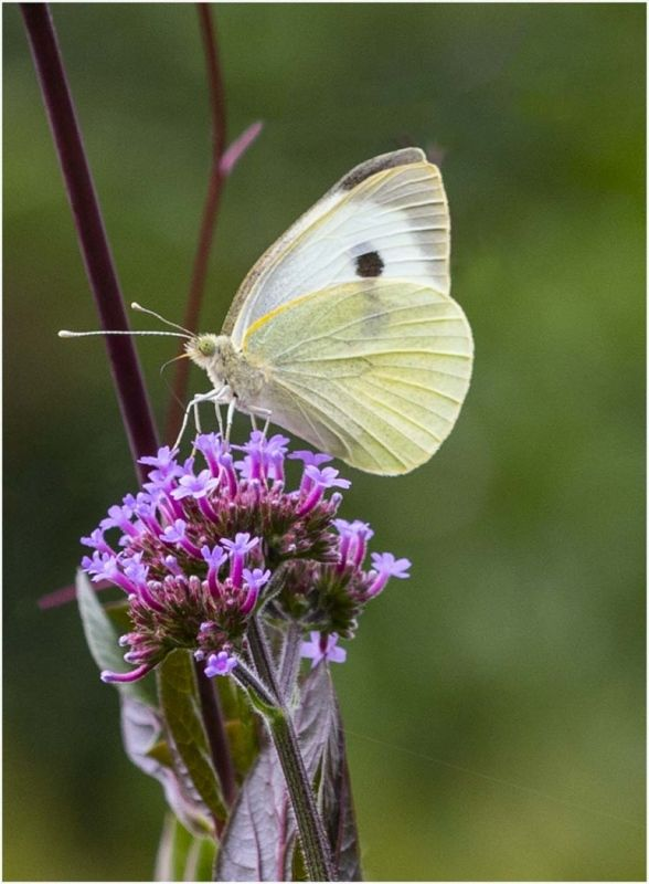 Cabbage white by Sid Jones