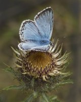 Chalkhill Blue on Thistle by Jeremy Lee-Potter