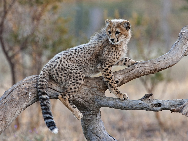 Cheetah Cub on Branch by Mary Cantrille