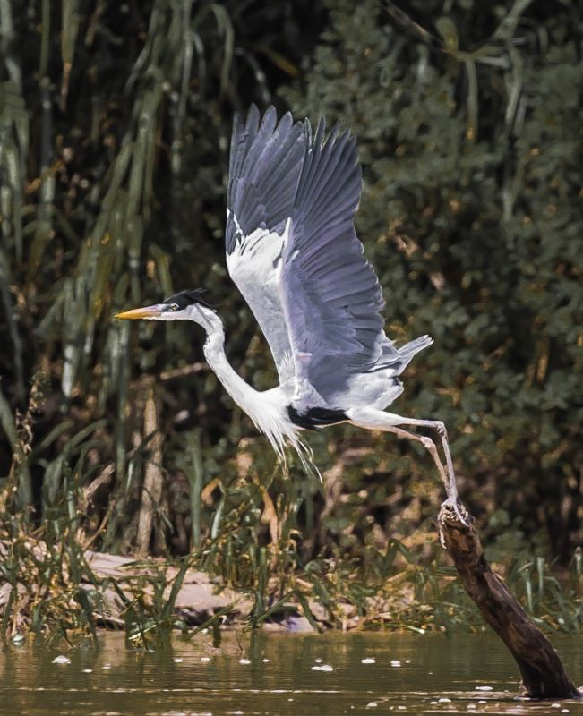 Cocoi Heron at Lift-off by Frank Schweitzer