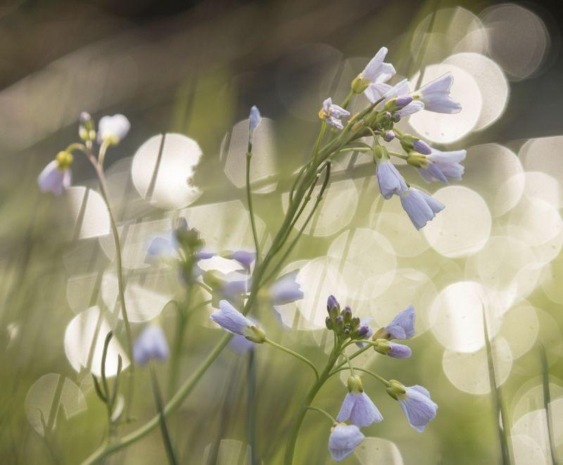 Cuckoo Flower, Burgundy by Annette Beardsley
