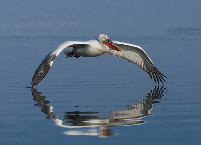 Dalmatian Pelican coming in to land by Mary Cantrille, Section A Winner Comp 6 Focus on Nature Digital 2015-16