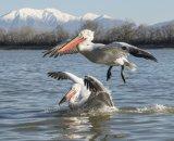 Dalmatian Pelicans by Annette Beardsley