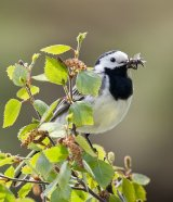 White Wagtail with insects by Di Tilsley