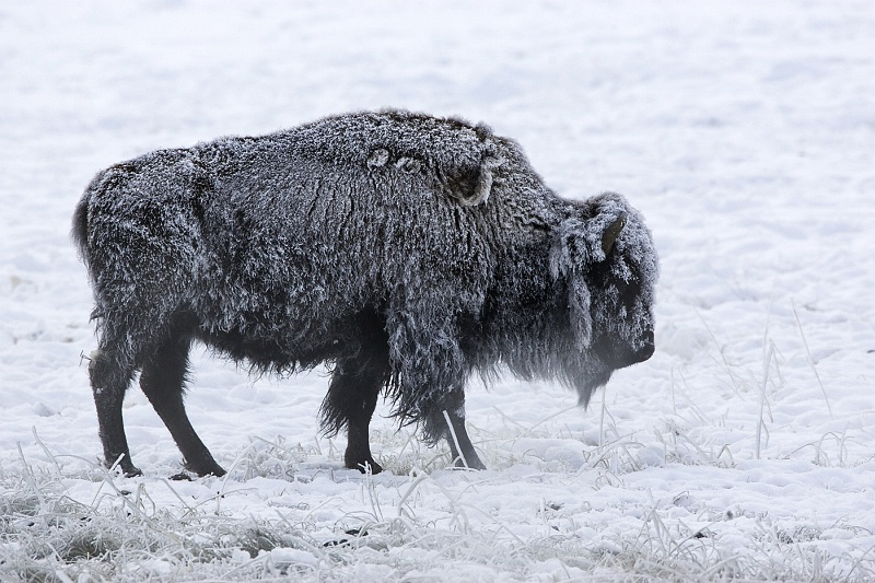 Freezing Bison by Mary Cantrille