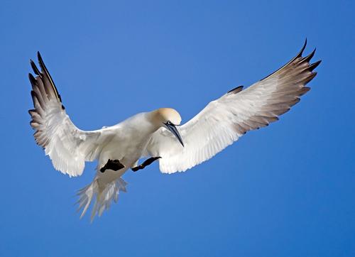 Gannet Landing by David Cantrille
