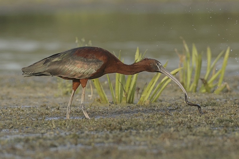 Glossy Ibis with Leech by Tim Downton