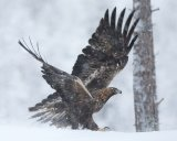 Golden Eagle in the Snow by Bob Davies