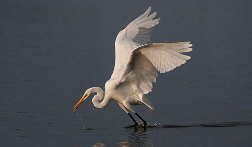 Great Egret Fishing by David Cantrille