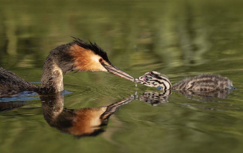 Great Crested Grebe feeding Chick by Ivor Toms Highly Commended Section A