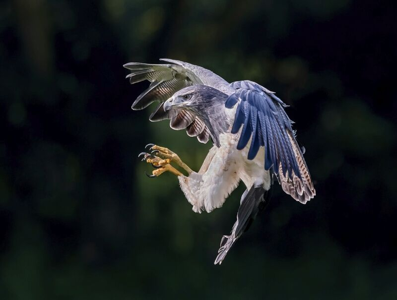 Grey Eagle by Martin Davenport Third Section A