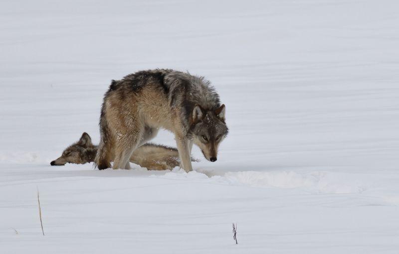 Grey Wolf Pair by Jane Lee