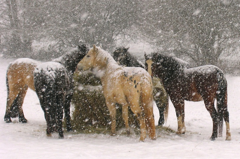 Horses in Snow by Colin Tracy