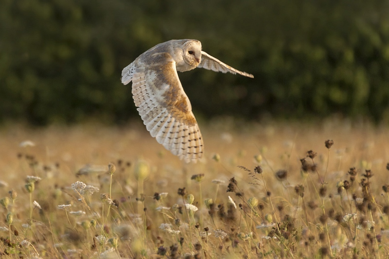 Hunting Barn Owl by Ivor Toms