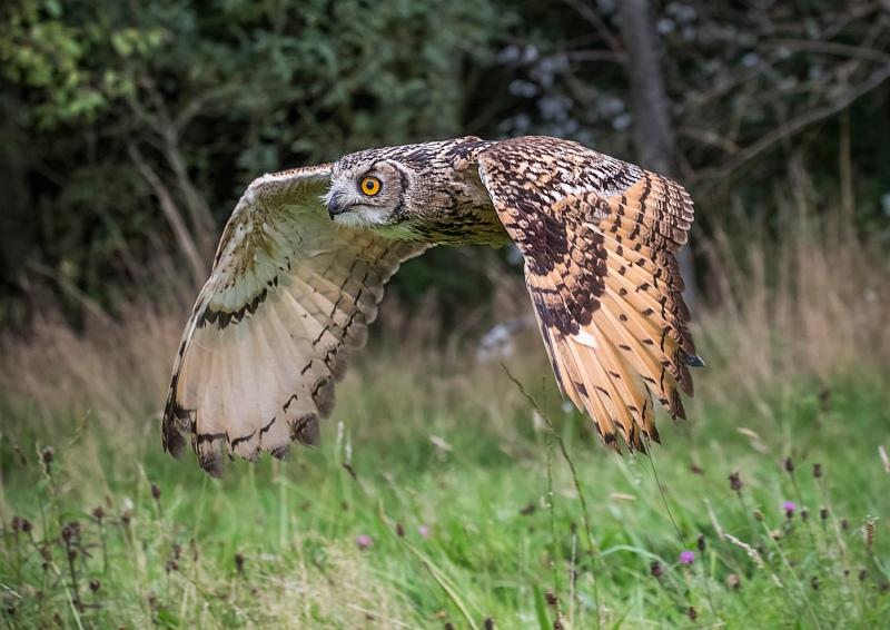 Hunting Eagle Owl by Ivor Toms