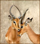 Impala by Christa Bott