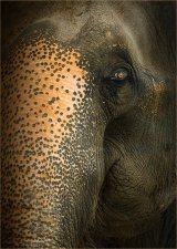 Indian Elephant by Glynn Grylls