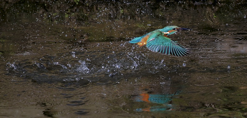 Kingfisher on the Stour by Martin Davenport