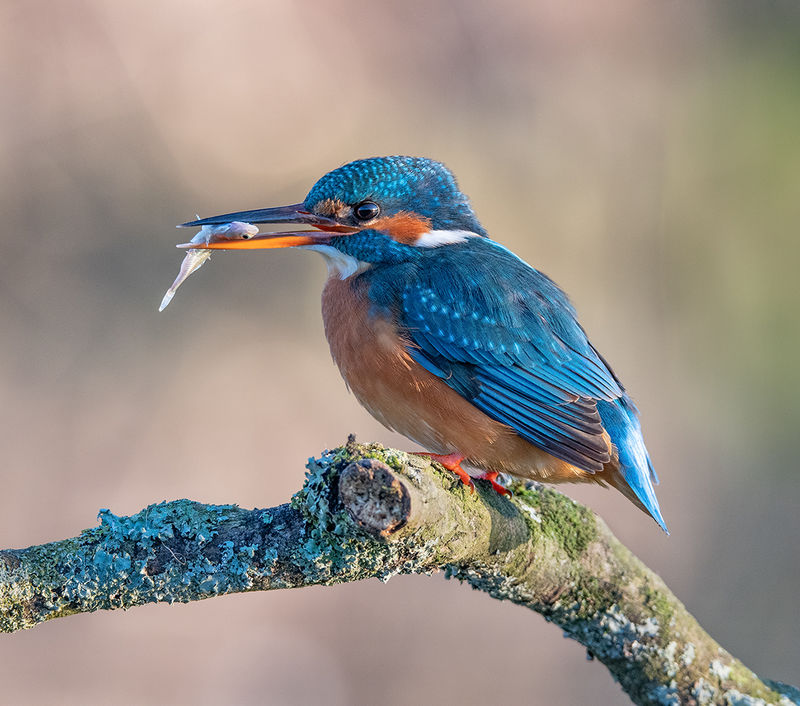 Kingfisher with fish by Jenny Warr Highly Commended Section B