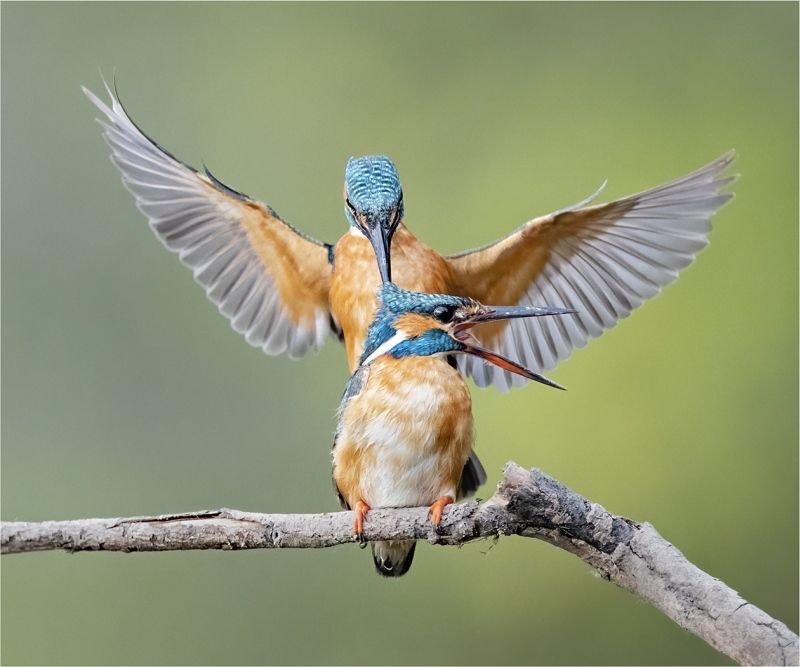Kingfishers Mating by Tim Downton Commended Section A