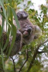 Koala by Helen Lord