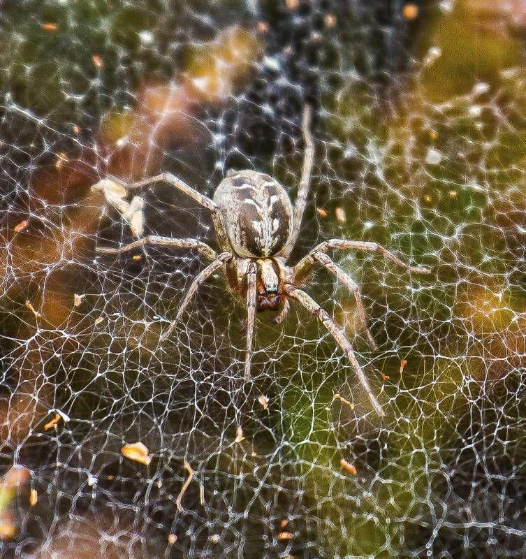 Labyrinth Spider by Jeremy Lee-Potter