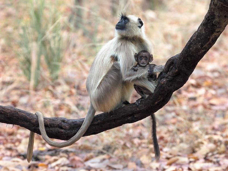 Langur Monkey with Infant by Bob Davies